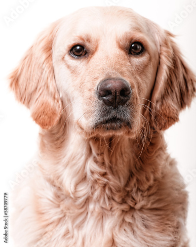 golden retriever 4