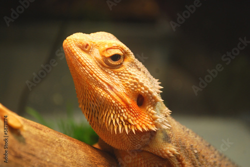 A large brown lizard sitting on a log in the cage