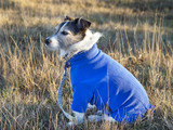Dog Wearing Blue Jumper Coat
