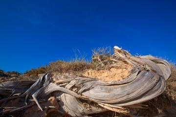 Mediterranean twisted dried juniper trunk in Formentera