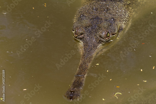 Lurking Crocodile