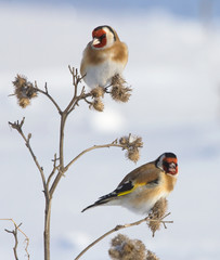 European Goldfinches on the burdock