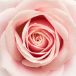 canvas print picture - Rose Closeup