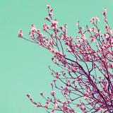 Fototapety Retro Cherry Blossom