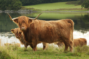 Scottish highland cow in field