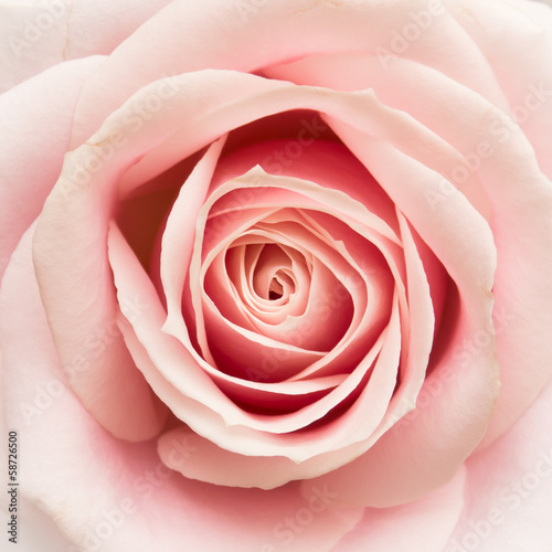 canvas print picture Rose Closeup