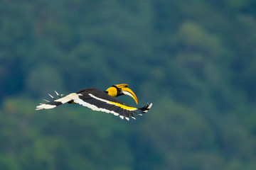 Beautiful wings of Great Hornbill  flying in nature