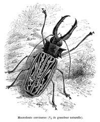insecte :  Macrodonte Cervicorne