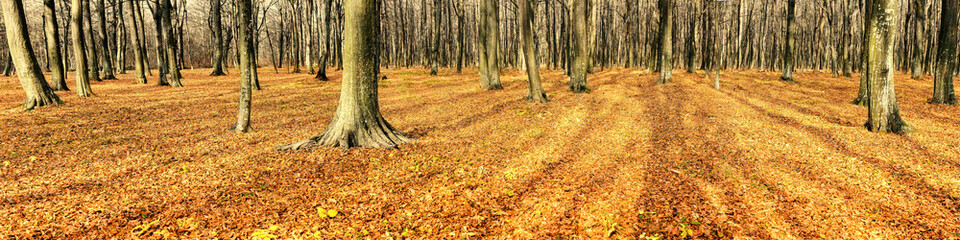 Deciduous forest in autumn (Panorama)