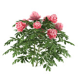 Plant bush isolated. Peonia