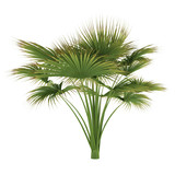 Palm tree isolated. Lodoicea maldivica