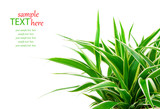 Chlorophytum - evergreen perennial flowering plants in the famil