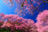 Full Bloom Cherry Blossom with Blue Sky Background - 58735554