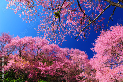 Wall mural Full Bloom Cherry Blossom with Blue Sky Background
