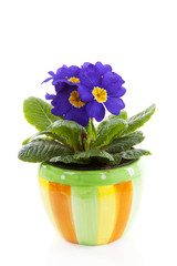 Purple Primula flowers in pot isolated on white background