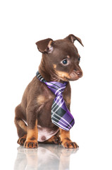 adorable chocolate puppy in a tie