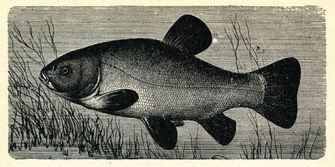 Tench or doctor fish (Tinca tinca)