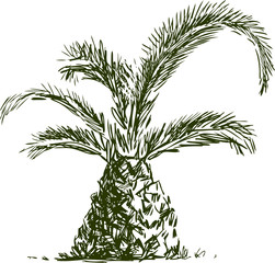 sketch of little palm