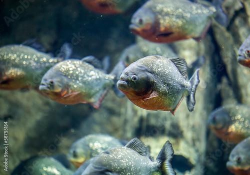Leinwanddruck Bild Red piranha