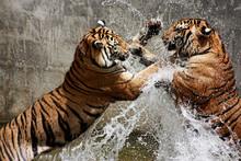 Walka tygrysa