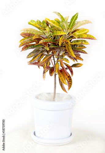Croton tree in flowerpot isolated white