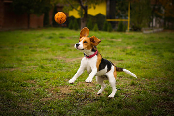 Beagle Playing With His Ball