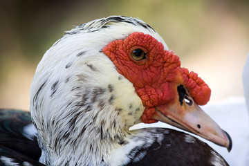 Domestic muscovy duck , Cairina moschata
