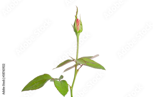 rose bud isolated on white background