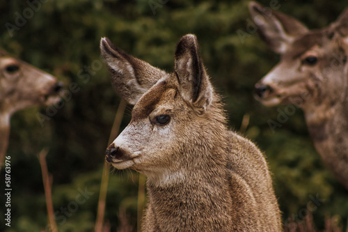 Portrait of a Baby Mule Deer