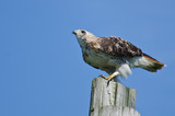 Red-Tailed Hawk Perched on a Pole