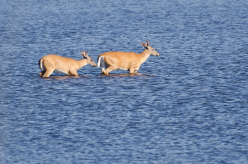 Two Deer Wading Out into the Water