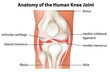 Human knee joint anatomy