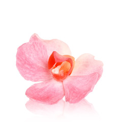 Orchid, rosa Orchidee
