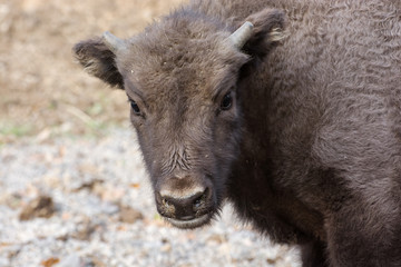 Portrait of a young European bison