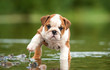 English bulldog puppy in the water - 58776564
