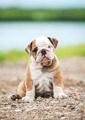 English bulldog puppy sitting near the river