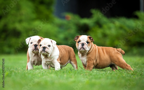 Three english bulldog puppies standing on the lawn