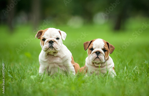 Two english bulldog puppies sitting in the park