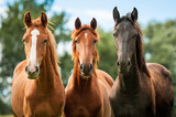 Group of three young horses on the pasture - Fine Art prints