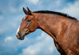 Portrait of bay horse on the blue sky background