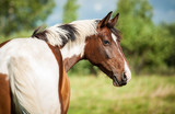 Portrait of beautiful painted horse on the pasture