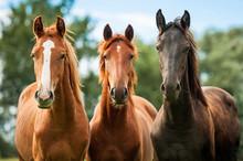 Grupa trzech młodych koni na pastwisku