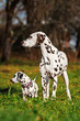 Dalmatian dog with puppy