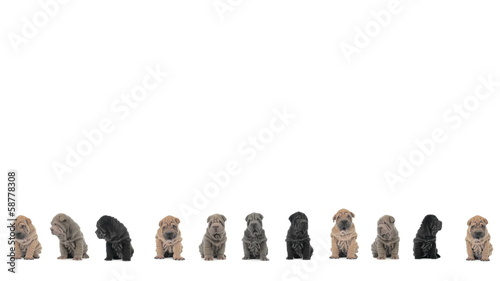 Shar pei puppies sitting