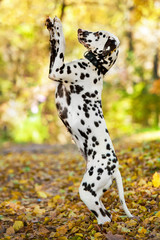 Dalmatian dog playing in the park in autumn