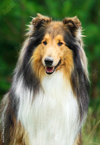 Portrait of rough collie