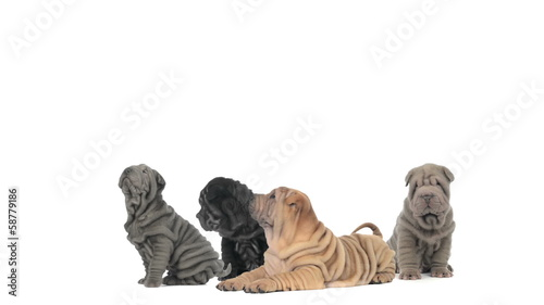 Group of Shar pei puppies sitting and lying