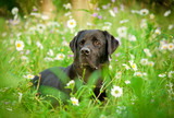 Black labrador lying in flowers