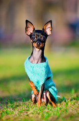 Prague ratter sitting on the grass