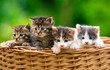 Four kittens in the basket